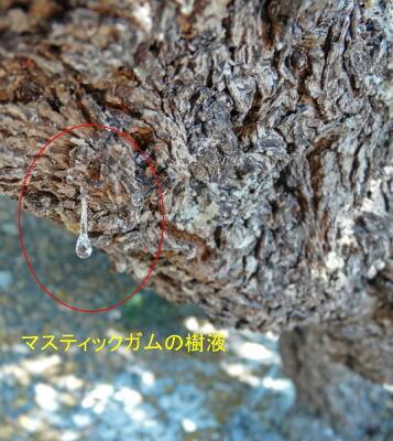 マスティックガムの樹液